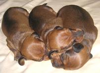 такса миниатюрная щенки