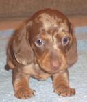 такса щенок миниатюра кофе мрамор