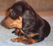такса миниатюрная щенка купллю