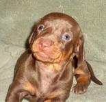 щенок таксы миниатюрной кофейного окраса