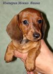 Такса миниатюрная, щенок рыжего окраса, питомник