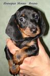 такса миниатюрная гладкошерстная, щенки классических окрасов, питомник