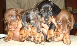таксы гладкошерстной щенки классических и эксклюзивных окрасов: кофе, мрамор