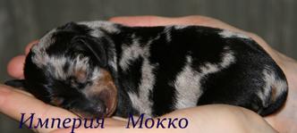 такса щенок черно-мраморного окраса