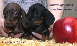 таксы кроличьей щенки от питомника, кофейного и классического окрасов