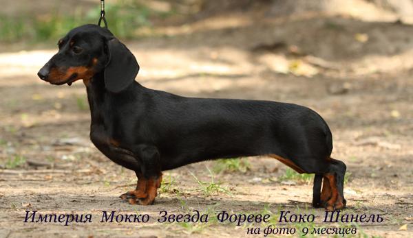 такса кроличья гладкошерстная питомника Империя Мокко, щенки
