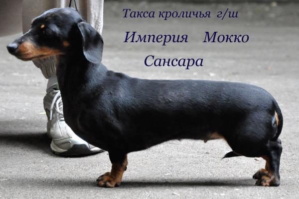 такса кроличья г/ш, мраморного окраса, сука, щенки