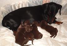 такса гладкошерстная щенки